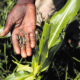 Government fighting to control spread of armyworms