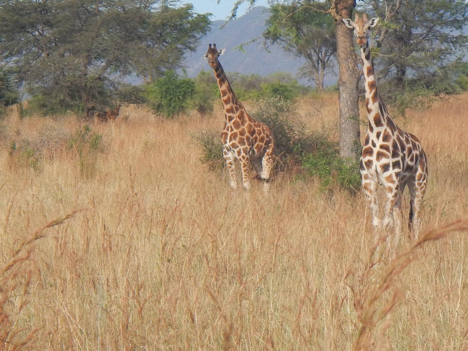 Giraffes gaze out of the Kidepo, savannah plains. Photo by Daudi Nana.