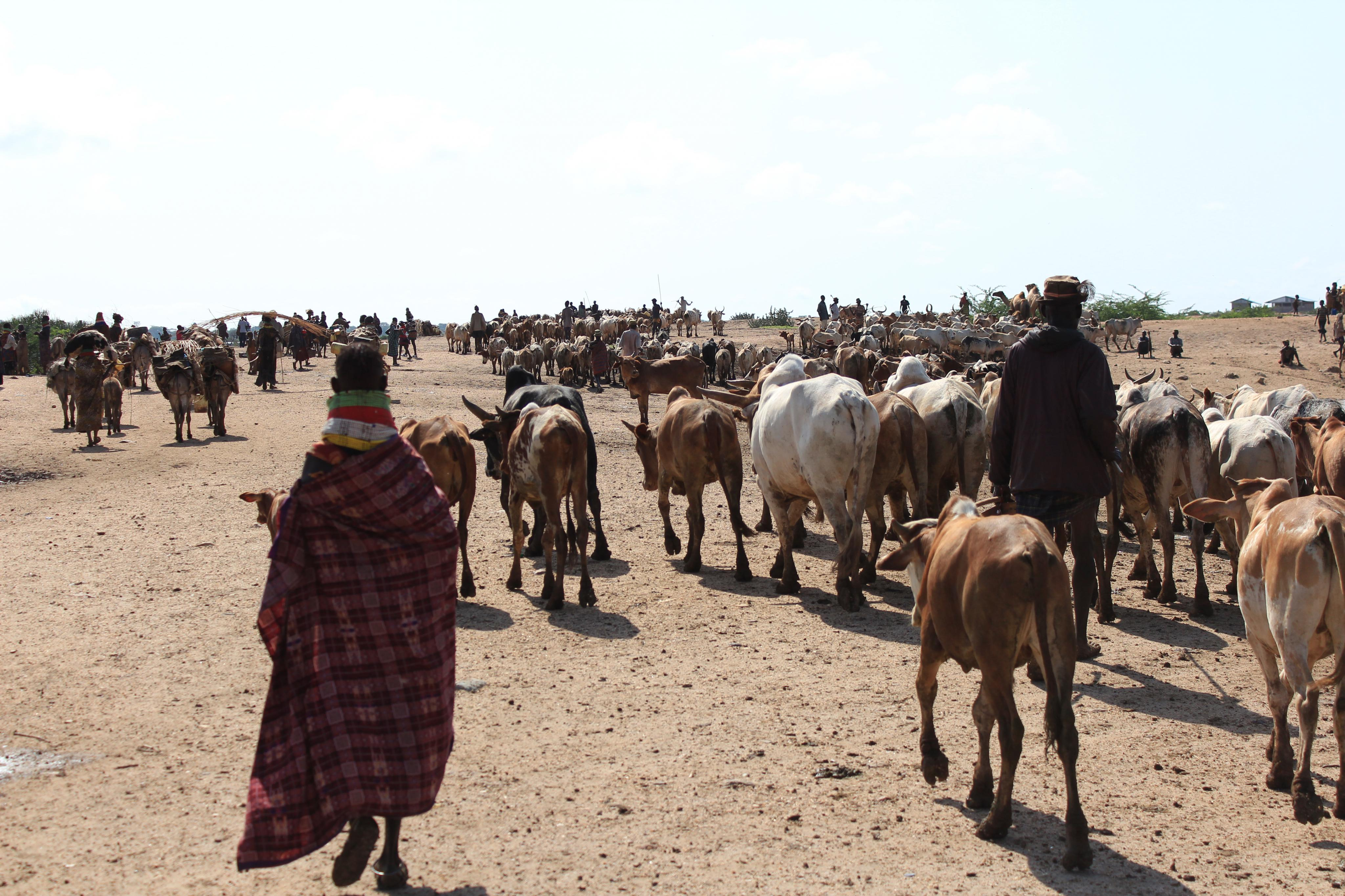 Turkana pastoralists with their cattle. File photo.