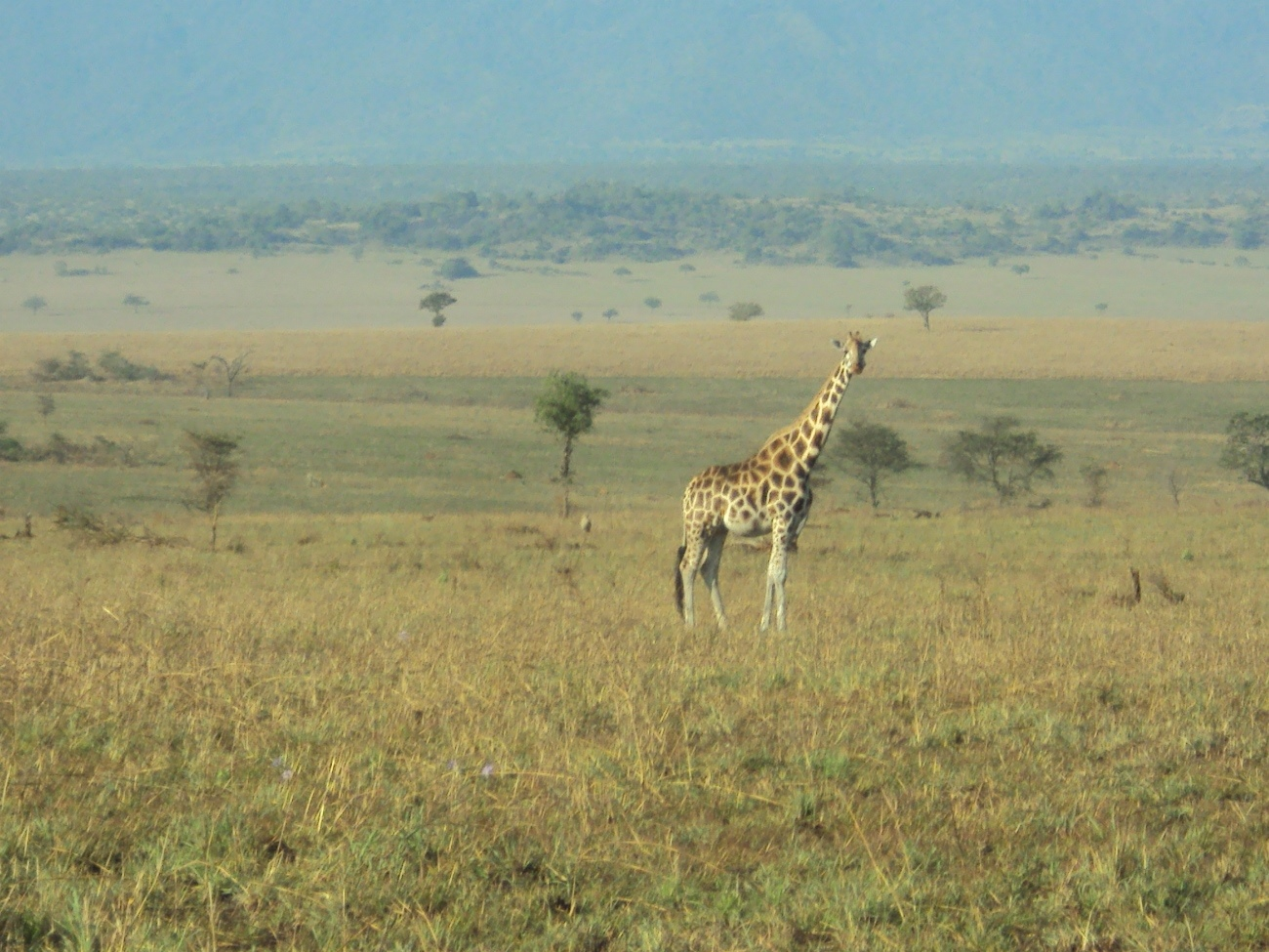 2. A Giraffe stands high in Kidepo National park, this is one of the rare tourist attractions here. PHOTO BY DAVID MAFABI