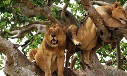 Queen Elizabeth National Park is one of few habitats of the tree climbing lions in the world.