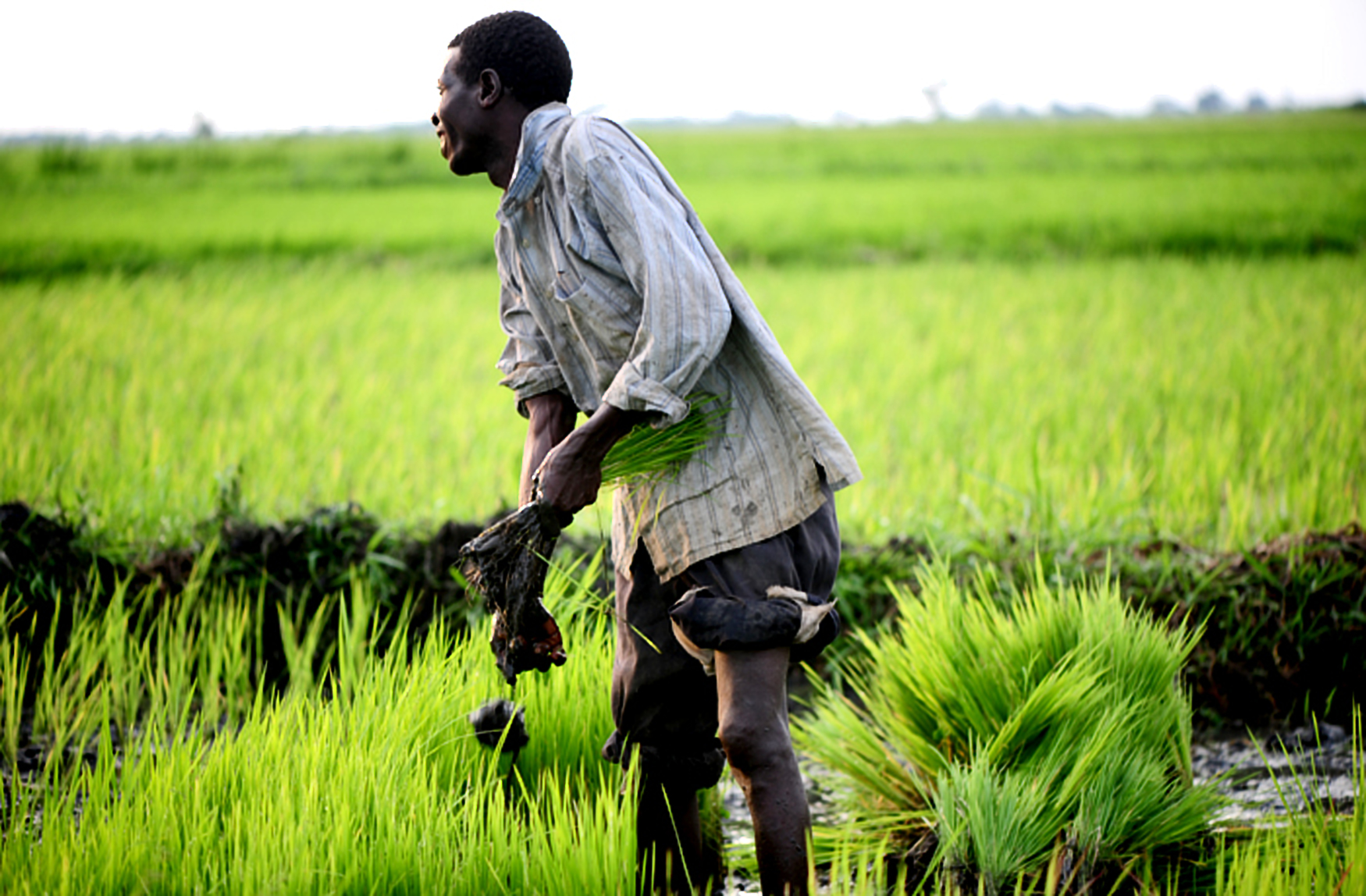 A farmer in the Doho Rice Scheme Uganda (FILE PHOTO)