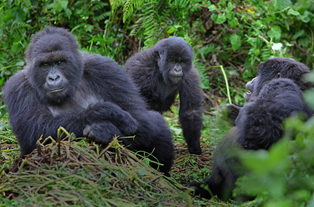 Mountain Gorilla trekking is one of the most enterprising tourism activities in Kigezi sub-region (FILE PHOTO)