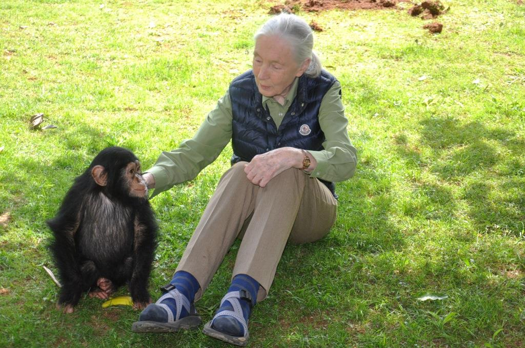 Dr Jane Goodall pats Zakayo II, the heir to the late Zakayo after the naming ceremony over the weekend at UWEC.