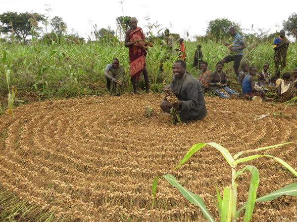The community harvesting ground nuts in Lobanya-village, Karamoja district. (PHOTO BY DAVID MAFABI)