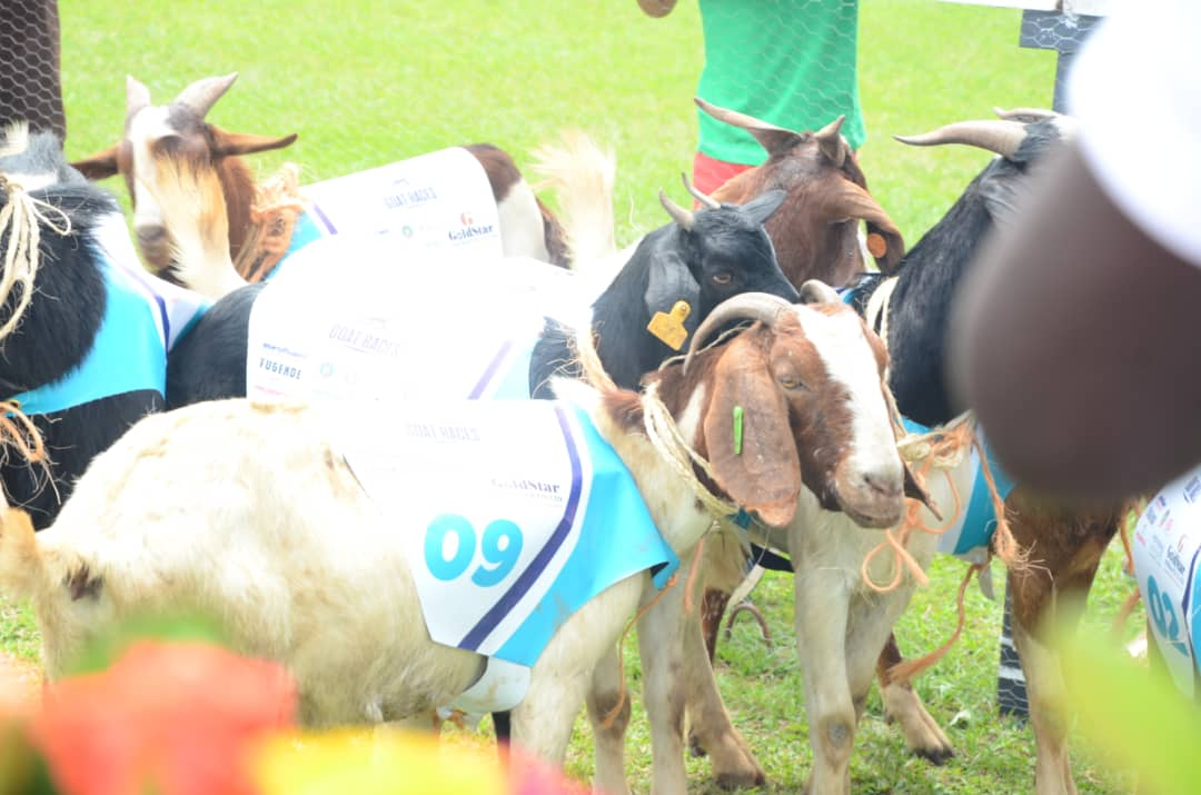 The goats dash off in the just concluded Ascot Goats Race last year (PHOTO/PML Daily)