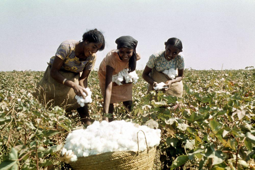 Women harvesting cotton. (FILE PHOTO)