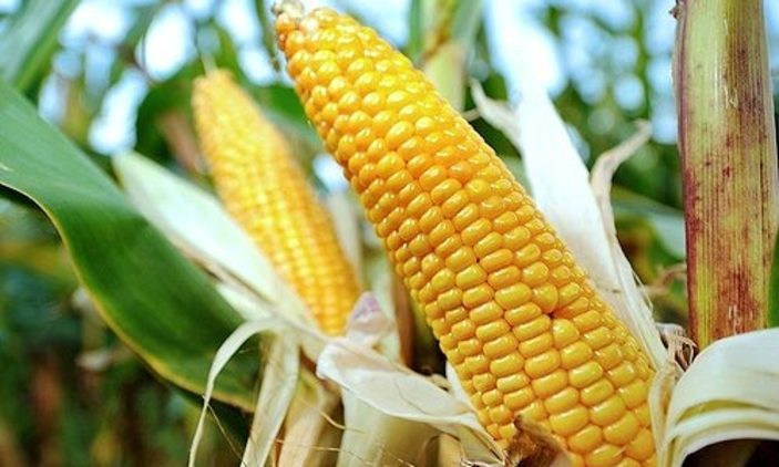 GMOs continue to stain Uganda's agricultural futere as a section of legislators distance themselves from GMOs bill (FILE PHOTO)