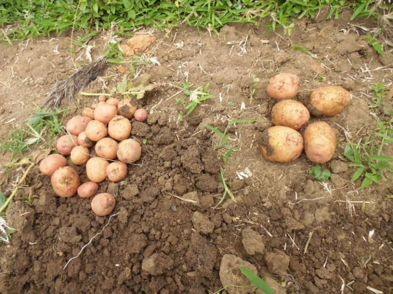 Sweet Potatoe tubers. Makerere University has in October 2018, signed a partnership with the Uganda Industrial Research Institute (UIRI) to create a value chain for Potato growers in Uganda (FILE PHOTO)