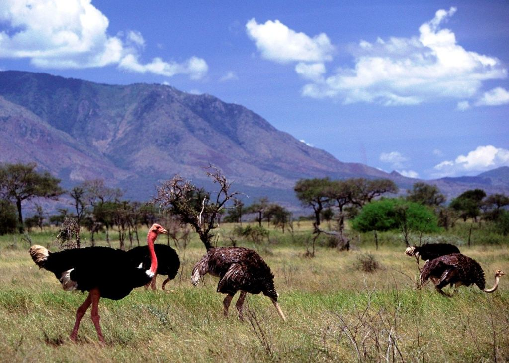 A view of the ginomous ostriches and other animals in Kidepo Valley National Park (FILE PHOTO)