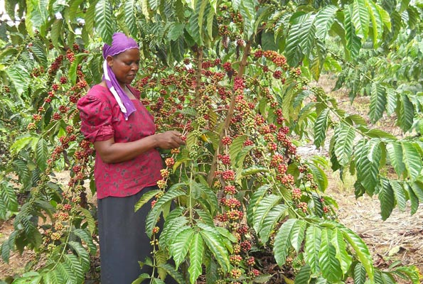 Coffee farmers under Central Coffee Farmers Association Ltd (CECOFA), will have a smile on their faces as the Yield Investment fund European Union has sunk over shs5bn in the coffee sector (FILE PHOTO)
