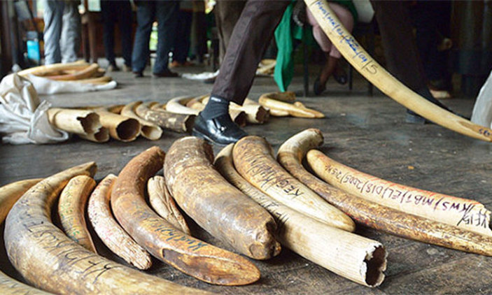 Elephant ivory tusks seized by authorities on July 3,2018. ICGLR has started formulating stringent laws to curb rampant illegal trade in wildlife species that are traded all over the region (FILE PHOTO)
