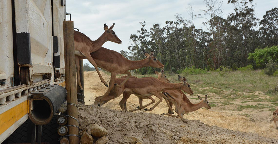 impalas being introduced at Pien-Upe game reserve.
