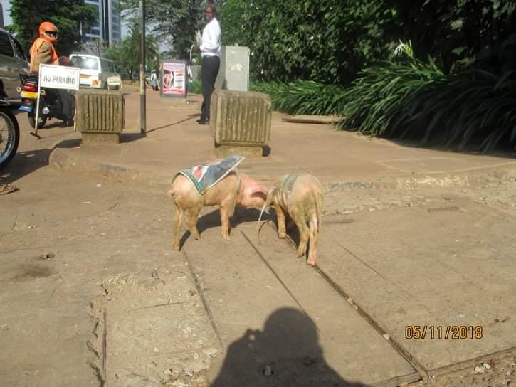 Piglets dropped at Bank of Uganda in Kampala. (PML Daily PHOTO)