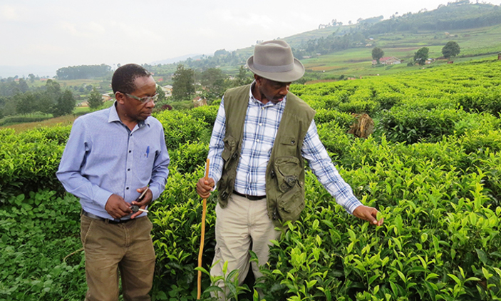 Businessmen admire tea in one of the plantation in Kabale. Tea farmers have rejected