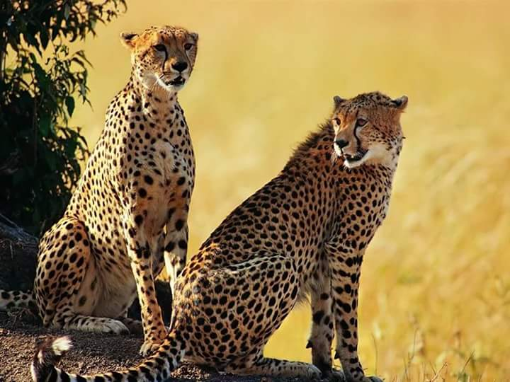 Face to face with the cheetah; the world's fastest but weakest mammal – PML  Daily