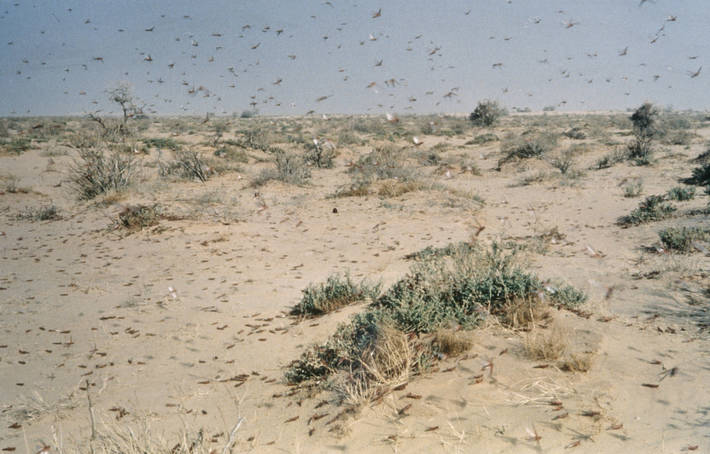 The desert locust is the world's most dangerous migratory pest capable of flying up to 150 km a day with the wind. (PHOTO/File)