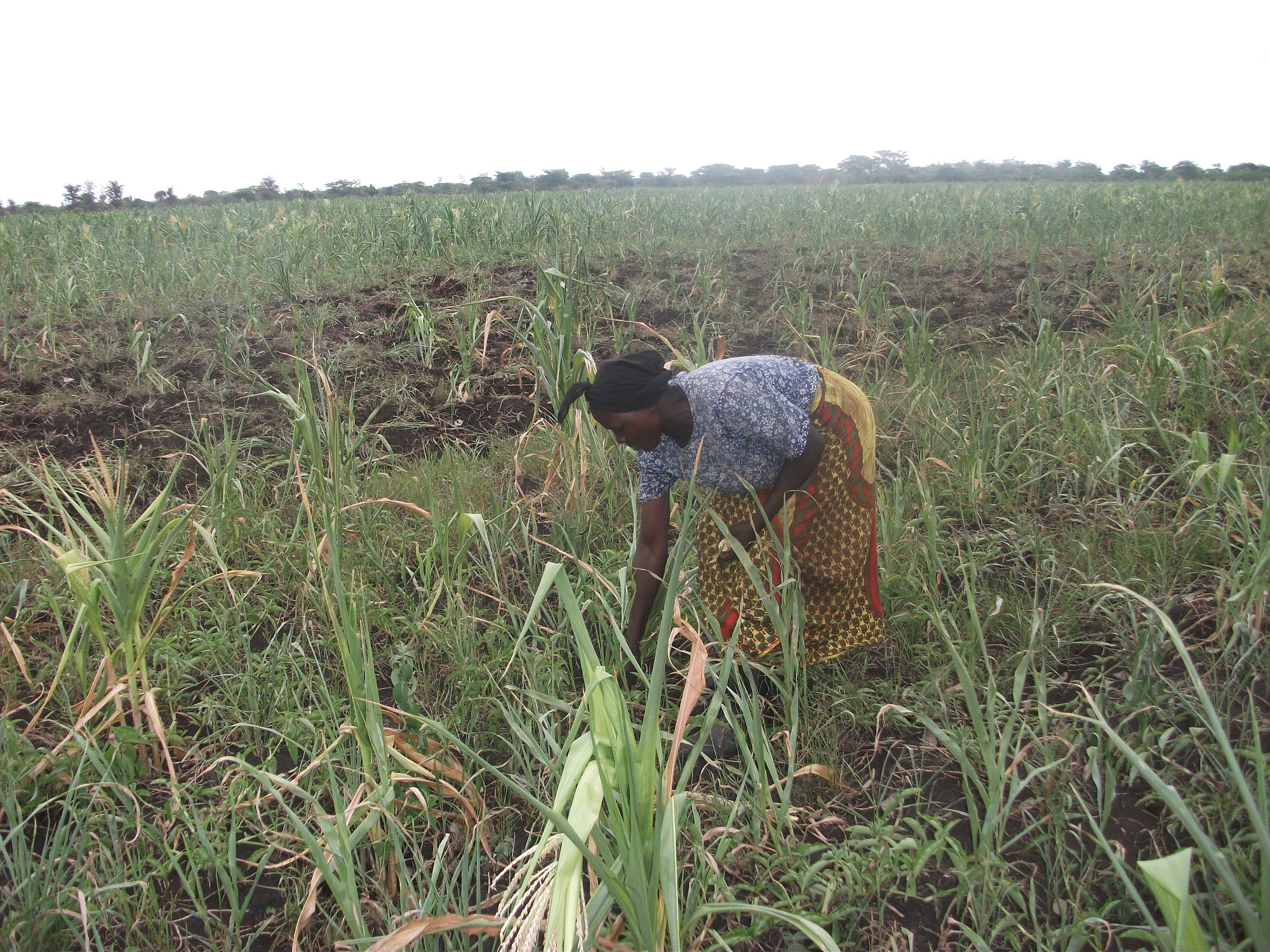 Mrs Giboni goes through her garden to just look at the destruction by Heat wave that has hit the country in Bulambuli district. David Mafabi