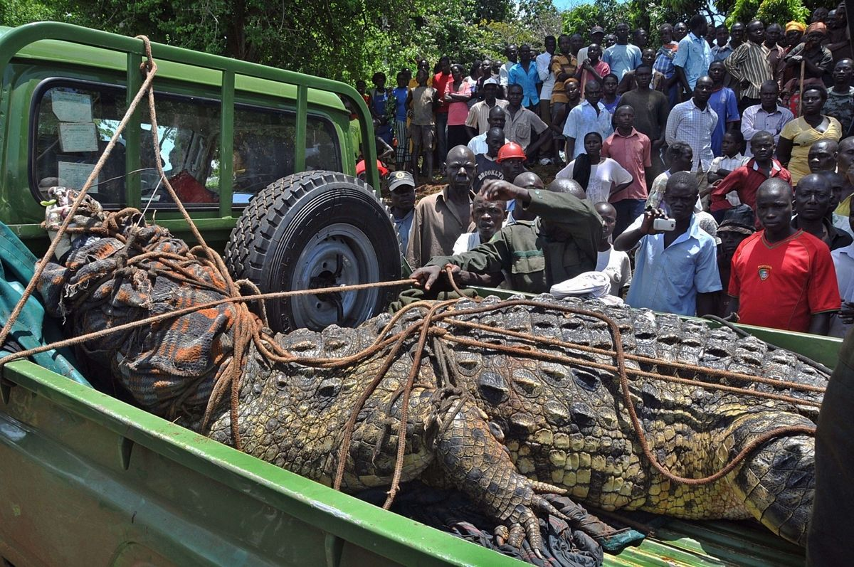 UWA officials capture man-eating crocodile at the shores of Lake Victoria in 2014. (COURTESY PHOTO)