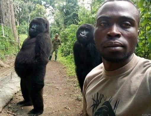 Gorillas pose for selfie