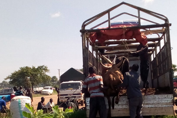 Traders load cattle destined for Kenya recently.