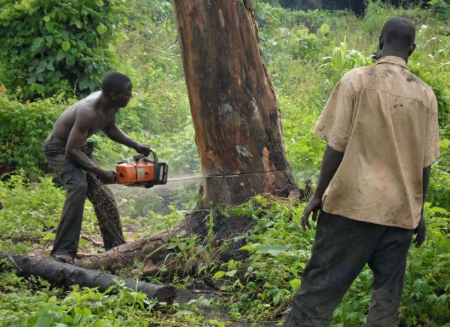 Loggers cutting down a tree for timber. Uncontrolled and illegal felling of trees causing deforestation in Uganda. Photo by Charles Akena