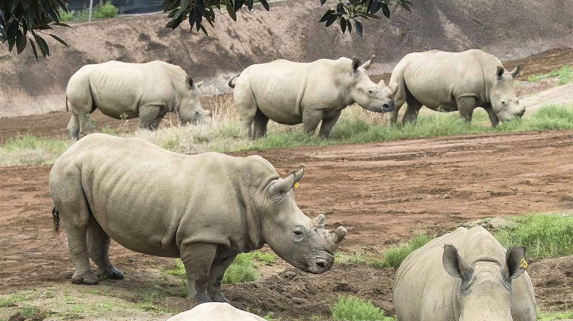 The district chairman, Sam Wadri Nyakua, has demanded that Uganda Wild Life Authority (UWA) returns the White Rhinos it took from Ajai wild life game reserve in Arua