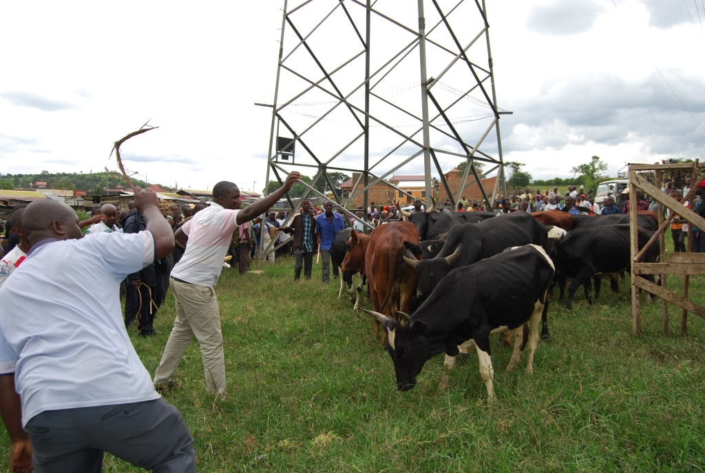 Some of the cows which were recovered from the farm of a UPDF officer. (PHOTO/Bob Aine)