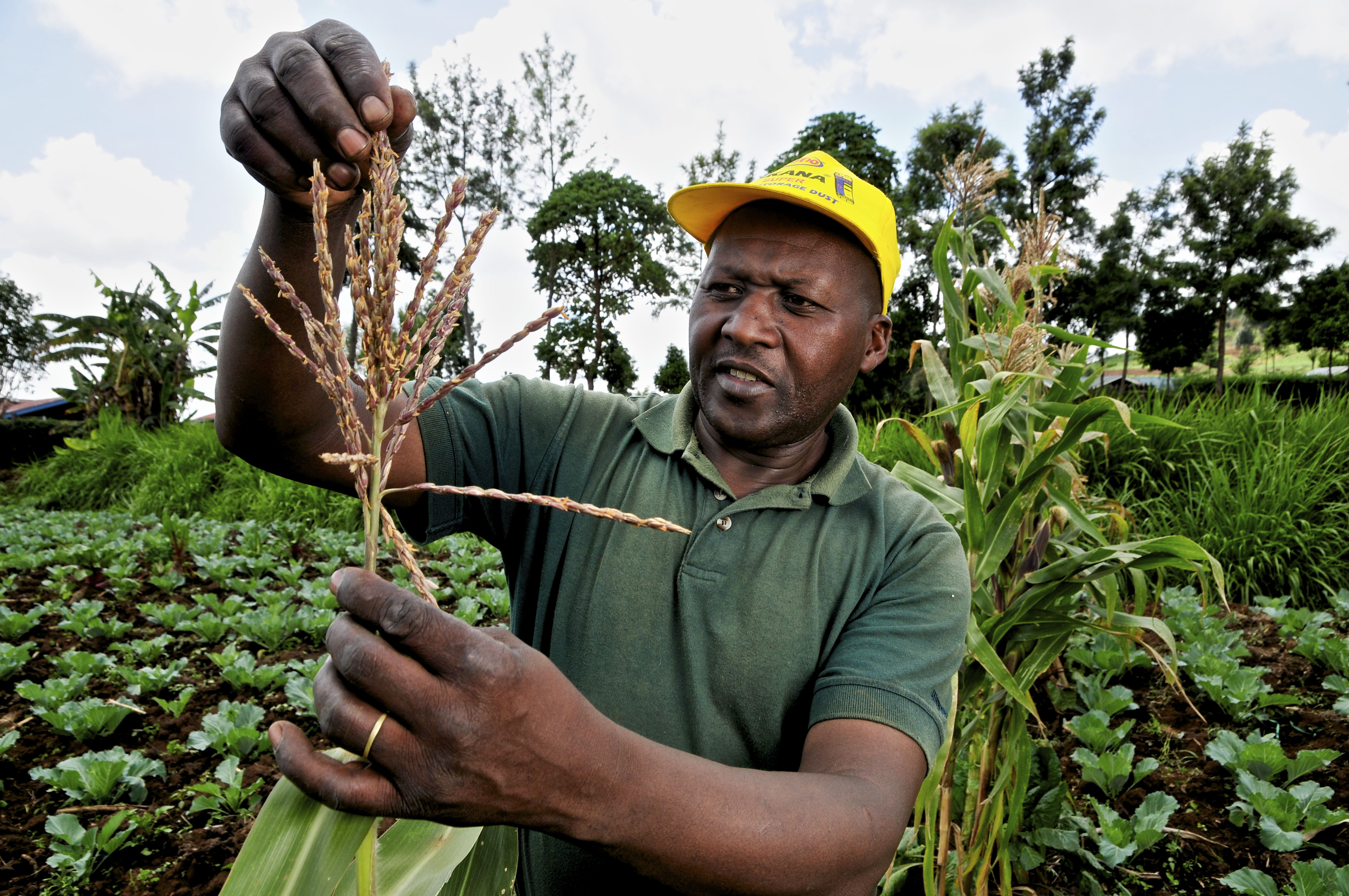 The decision could determine whether Kenya's farmers are ultimately able to access and plant improved genetically modified (GM) seeds. (PHOTO/FILE)