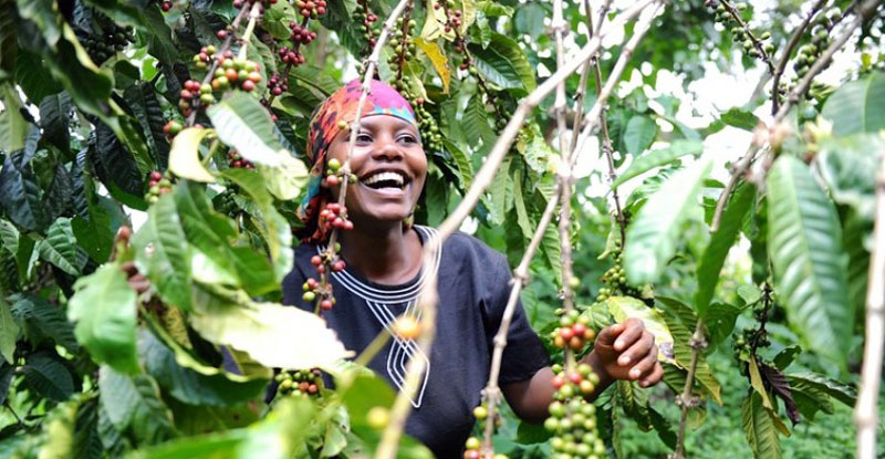 A coffee farmer shares a light moment in the fields (PHOTO/File)