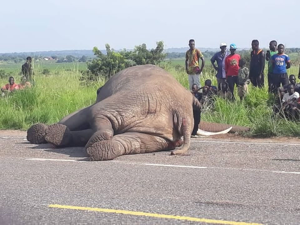 The lifeless elephant which was killed by a speeding Gaaga bus. (PHOTO/File)