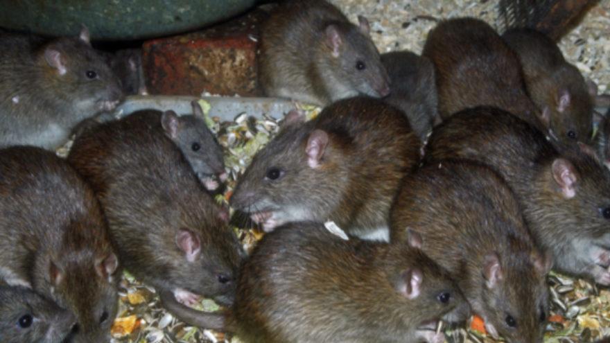 Rats invade Tororo district. (PHOTO/File)