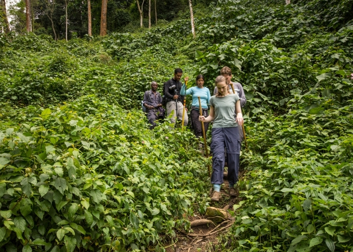 Tourists tracking Gorilla in Bwindi Impenetrable Forest National Park. (PHOTO/Courtesy)