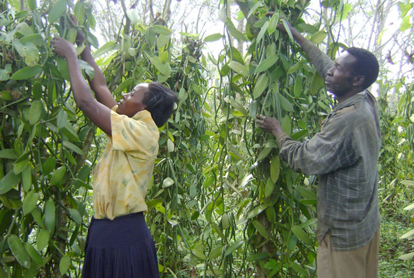 Mr Christopher Ndugga and his wife Irene tend to their vanilla garden.