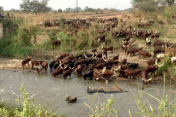Cattle belonging to the Balaalo drink water at Ayugi Bridge in Amuru District recently. FILE PHOTO