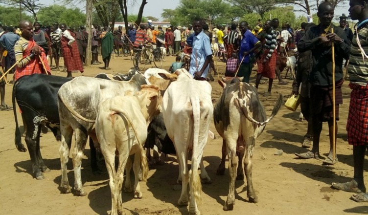 Karamoja subregion has operationalised the move to adapt settled livestock farming. (PHOTO/File)