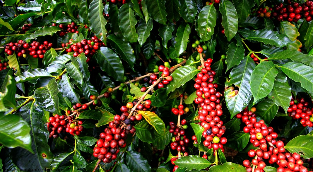 Farmers will have to be registered in the new Coffee Bill (PHOTO/File).