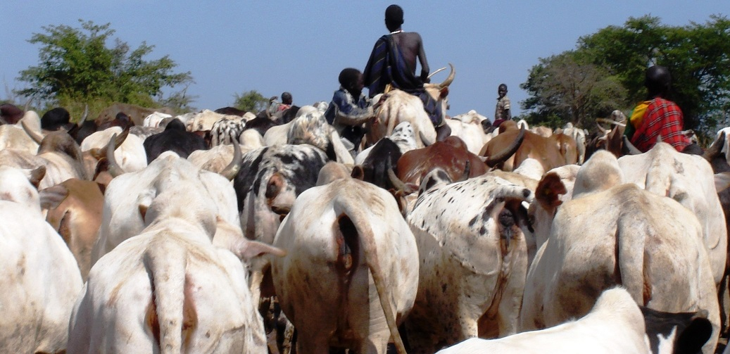 Enjoying the back of the animal_ Karimojong boy sit ontop of the cow taking them to graze in Moroto district (photo by Steven Ariong) (1)