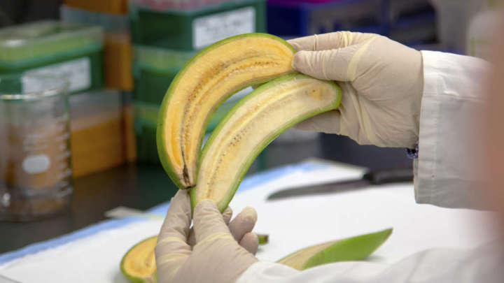 A GMO sample of the Banana. President Museveni has declined to approve the GMO Bill for the second time. (PHOTO/Courtesy)