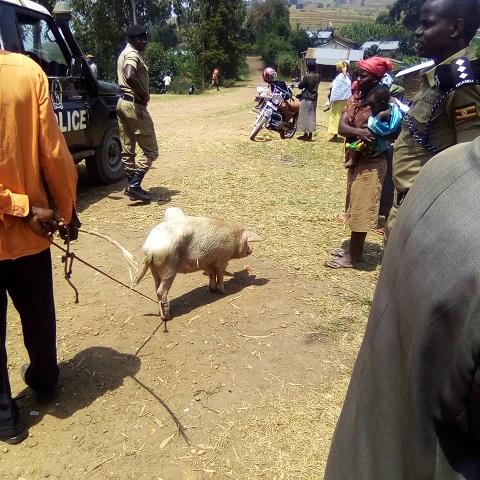 suspected stolen pig