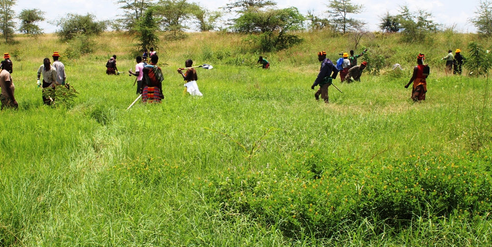 Karimojong and Turkana pastoralists weeding their trees in Kobebe water in Moroto last week (photo by Jonathan Opolot)