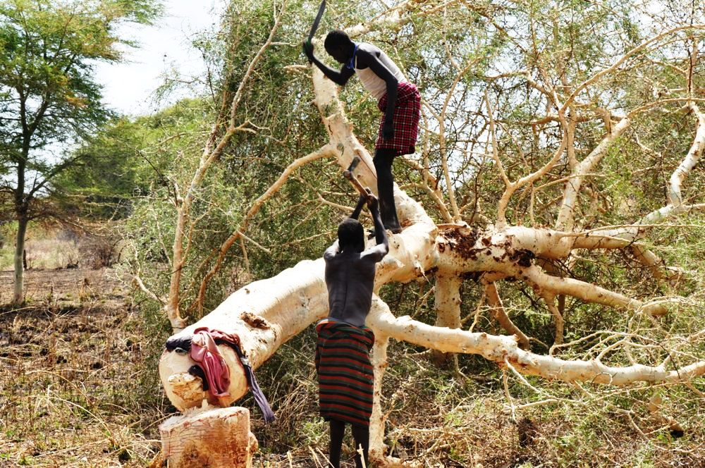 Karimojong men cutting down a tree for charchol burning in Moroto district last week (photo by Jonathan Opolot