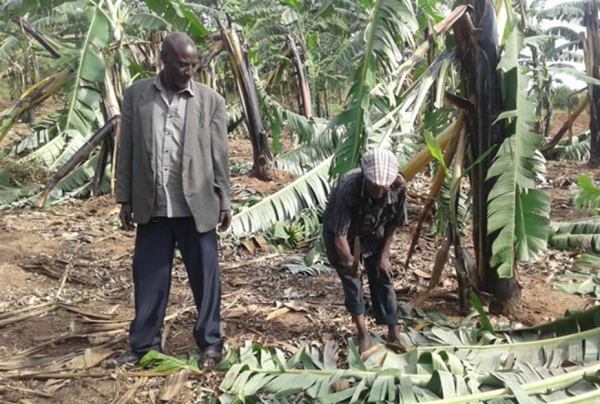 One of the farmers in his destroyed banana plantation (PHOTO/Courtesy)