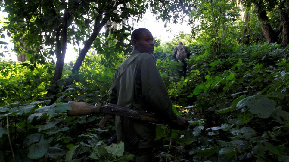 Ugandan Wildlife Authority rangers escort visitors during the tracking of endangered mountain gorillas from the Bitukura family, inside a forest in Bwindi Impenetrable National Park, west of Uganda's capital Kampala. (