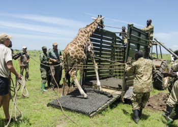 UWA has successfully translocated 19 Giraffes. (PHOTO/Courtesy)
