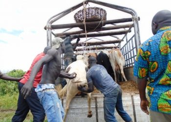 Cattle traders load animals in the truck in one of the cattle market in kaabong district last week (photo by Jonathan Opolot