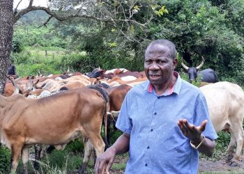 Minister grazing cattle at his farm in Kisombwa,Mubende he has lived on since 1978