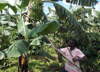 Miwanda props up a banana plant on his farm