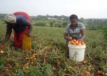 A farmer harvesting tomatoes (PHOTO/Daily Monitor)