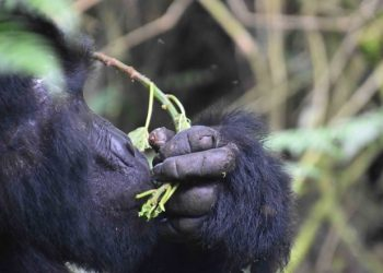 A Gorilla Trek is a highlight of all visits done in Uganda and Rwanda and certainly mountain gorillas are the major reason as to why very many people visit these 2 destinations (PHOTO/File)